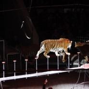 Шоу королевских тигров Суматры 2017 фотографии